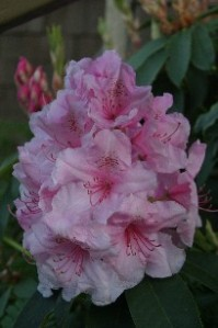 The first Rhododendron bloom
